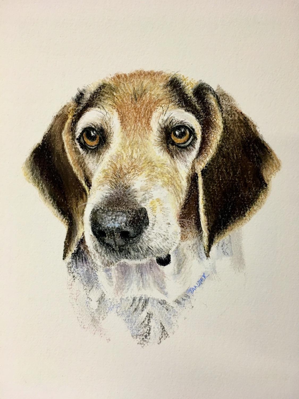 older beagle portrait in pastel