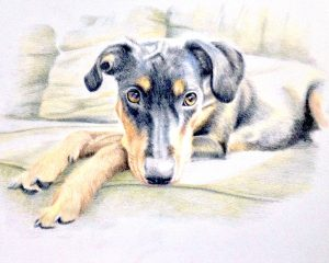 colored pencil drawing of german pinscher on the couch